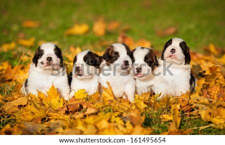 Saint bernard puppies in autumn - stock photo