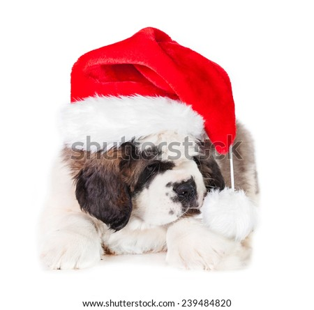 Saint bernard puppy dressed in a christmas hat - stock photo