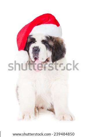 Saint bernard puppy dressed in a christmas hat - stock photo