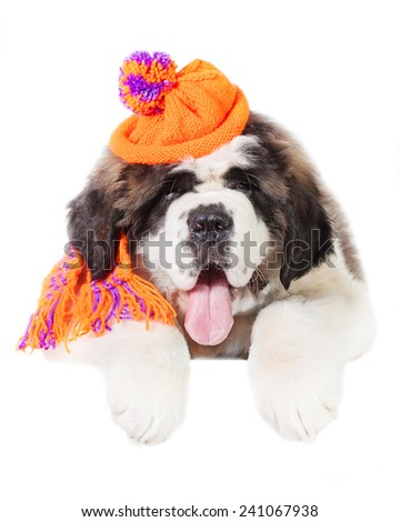 Saint bernard puppy dressed in warm knit hat and scarf - stock photo