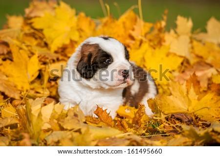 Saint bernard puppy in autumn - stock photo