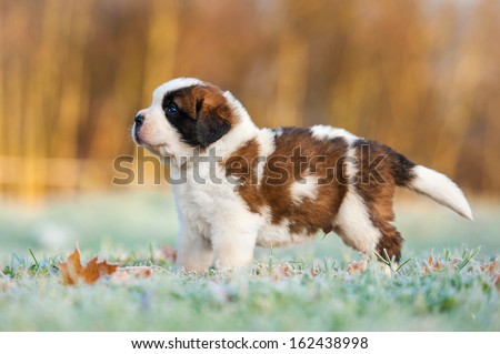 Saint bernard puppy in the morning in winter - stock photo