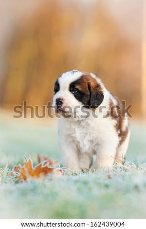 Saint bernard puppy in the morning in winter - stock photo