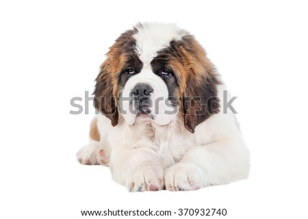 Saint bernard puppy lying isolated on white