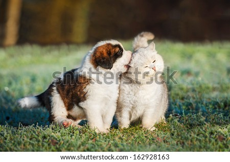 Saint bernard puppy playing with british shorthair cat