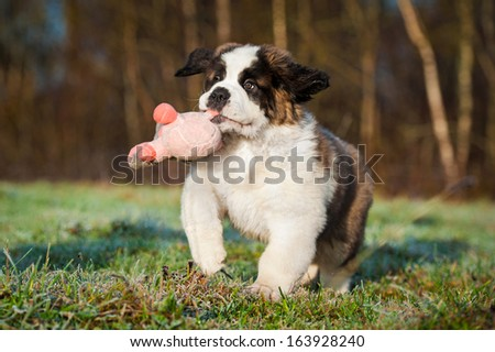 Saint bernard puppy playing with soft toy - stock photo