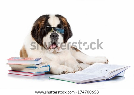 Saint bernard puppy reading in glasses  isolated on white