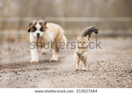Saint bernard puppy running behind adult tabby cat - stock photo