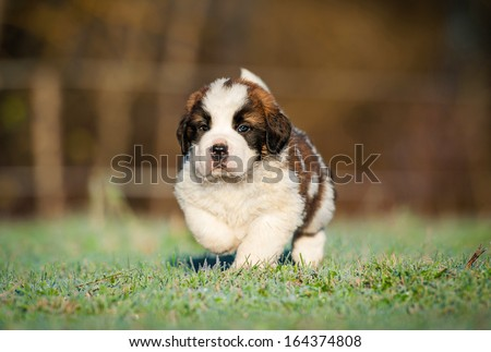 Saint bernard puppy running on the lawn - stock photo