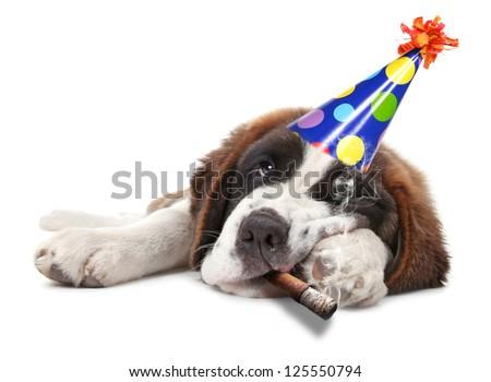Saint Bernard Puppy Who Partied too Hard Smoking - stock photo
