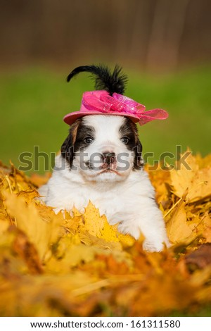 Saint bernard puppy with hat in autumn - stock photo