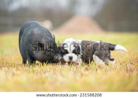 Saint bernard puppy with mini piggy walking outoors - stock photo