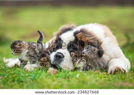 Saint bernard puppy with three little kittens - stock photo