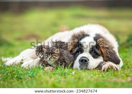 Saint bernard puppy with three little kittens - stock photo