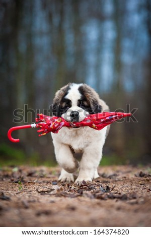 Saint bernard puppy with umbrella - stock photo