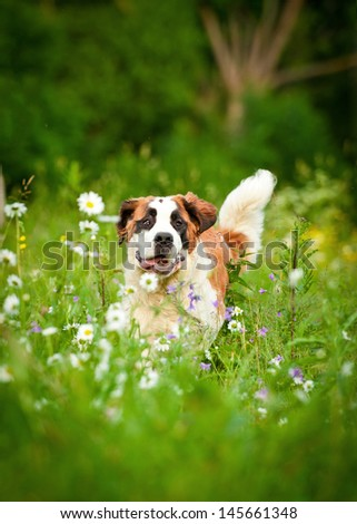 Saint bernard running in flower field - stock photo