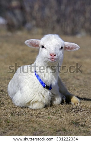 Saint Croix Lamb few weeks old laying on grass, portrait - stock photo