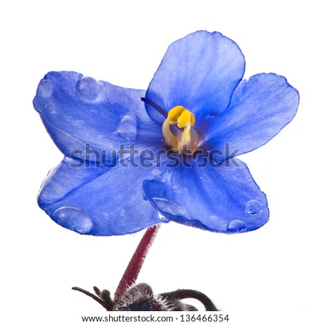 Saintpaulia African Violet  flower head  close up macro isolated on white background - stock photo