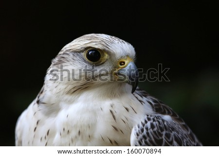 Saker falcon  - stock photo
