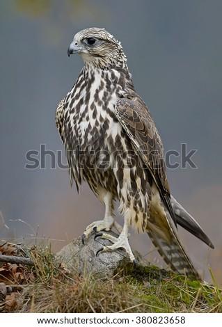 Saker Falcon (Falco cherrug)    - stock photo