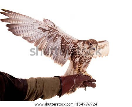 Saker Falcon (Falco cherrug) isolated on white - stock photo