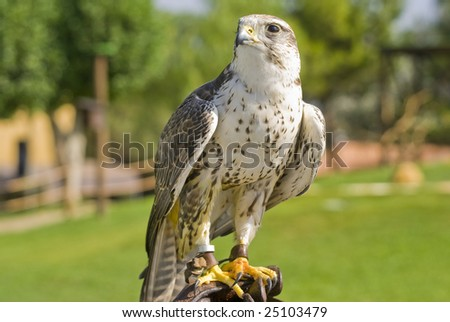 Saker Falcon (Falco cherrug) - landscape orientation - stock photo