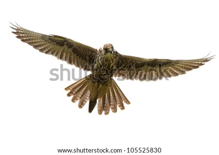 Saker Falcon in flight on white background - stock photo