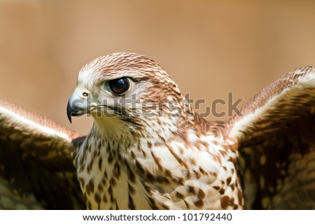 Saker Falcon with wings - stock photo