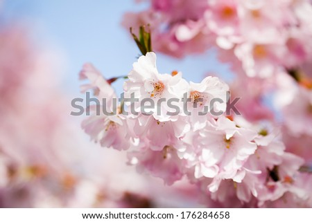 Sakura - stock photo