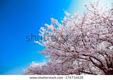 SAKURA against blue sky - stock photo