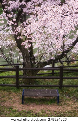 Sakura and Bench
