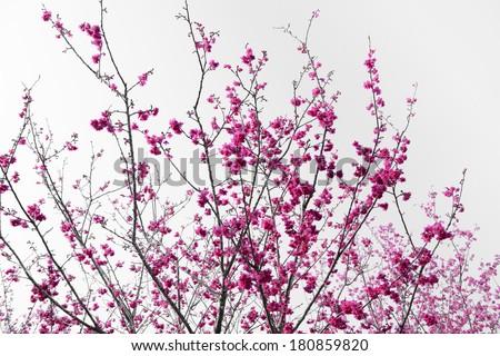 Sakura, Cherry Blossom  - stock photo