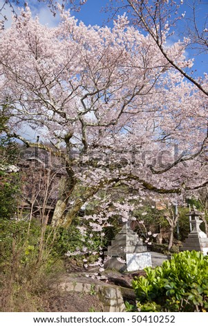 Sakura (Cherry blossom) at the Philosopher's Path - March 2010, Kyoto - Japan - stock photo