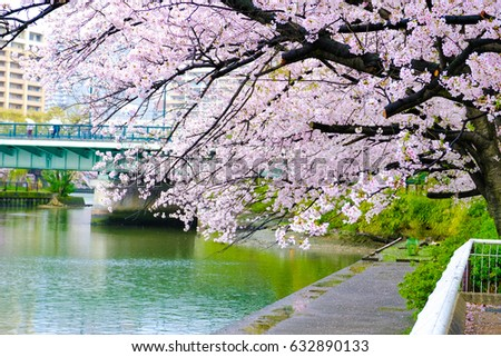Sakura Cherry Blossom Tree Along The River In Front Of Bridge Garden Next