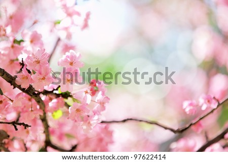 Sakura cherry flower blossom in spring - stock photo