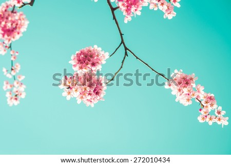 Sakura Flower or Cherry Blossom with blue sky,vintage filter - stock photo