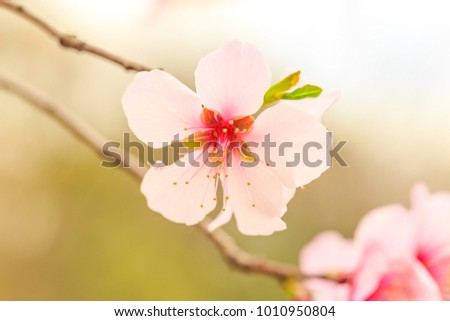 Sakura flower or Japanese Cherry Blossoms (Prunus serrulata) in warm light. (Selective Focus)