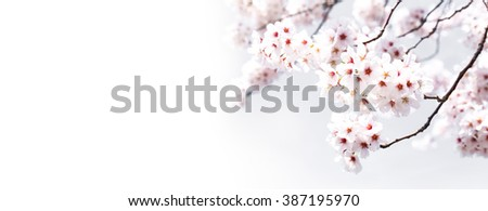 Sakura flowers background. cherry blossom isolated white background - stock photo
