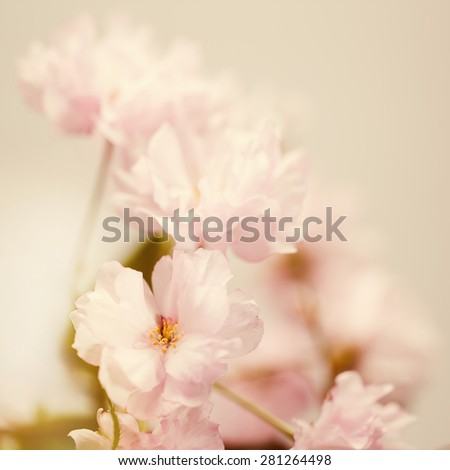 Sakura flowers, soft abstract floral backgrounds