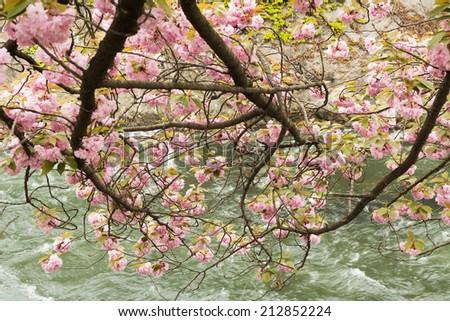 Sakura grown in the shore in Kyoto. - stock photo