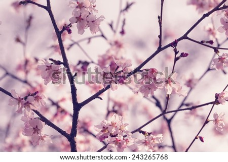 sakura in bloom close up photo, effect toned photo - stock photo