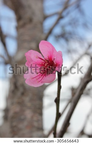 Sakura in Thailand,Blurred background