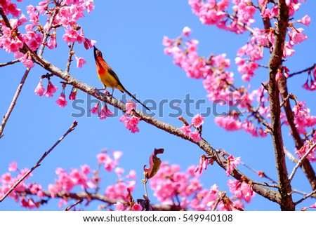 Sakura Japanese or cherry blossom and bird at Doi Ang Khang National Park, Chiang Mai, Thailand.