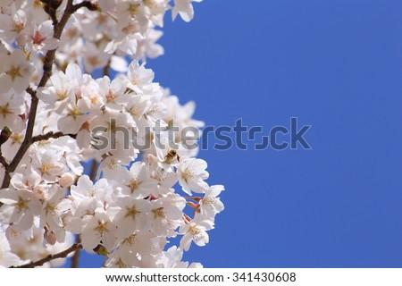 Sakura of blue sky and the full bloom - stock photo