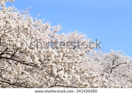 Sakura of blue sky and the full bloom - stock photo