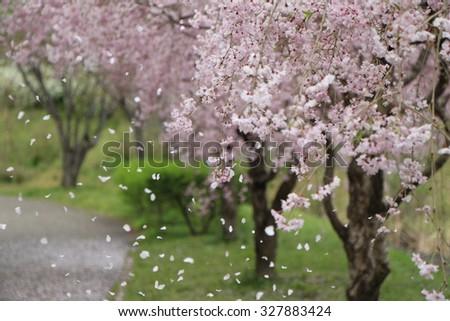 Sakura of Japan - stock photo