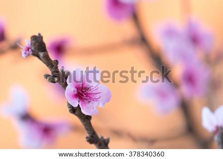 Sakura Or Cherry Blossom flower in morning light - stock photo