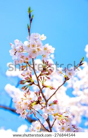 Sakura or Cherry blossom In Japan - stock photo