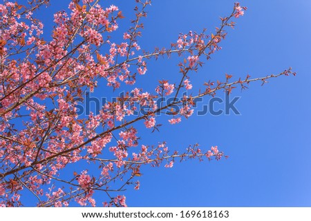 Sakura pink flower in  Thailand