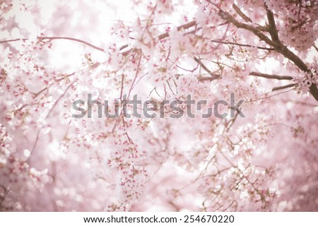 Sakura season or Hanami. Abstract Sakura Background. Cherry Blossom is known as Sakura in Japanese.  [Soft focus, Texture / Background] - stock photo